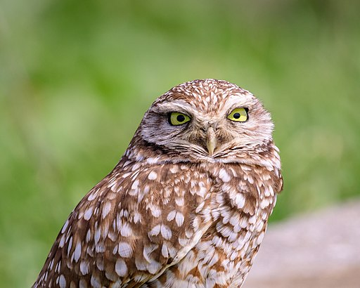 Burrowing Owls are one of the many interesting species we can find throughout the park. Photo credit: Becky Matsubara (CC)