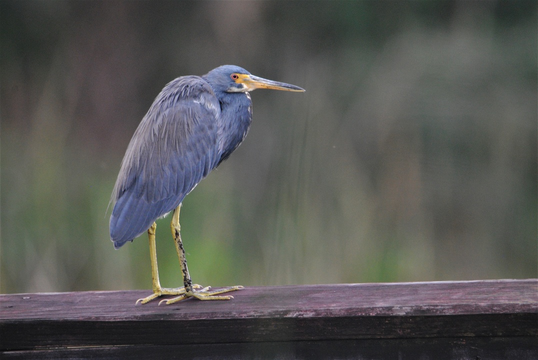 A cooperative Tri-colored Heron posed for us on the boardwalk