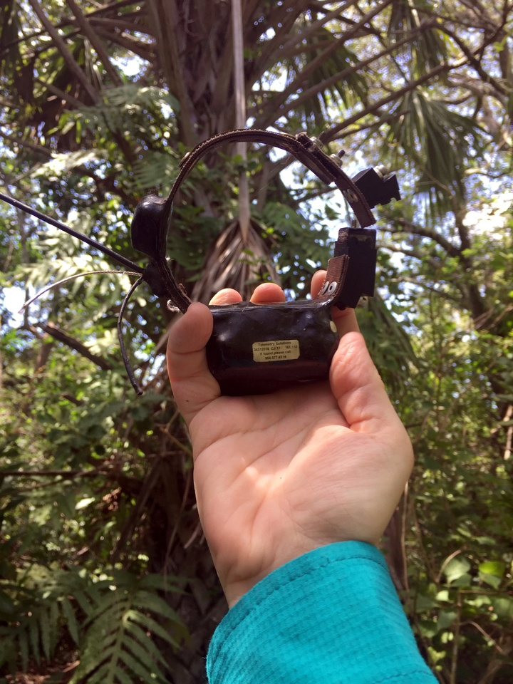 GPS Collar CJ11 finally came out of the palm tree…