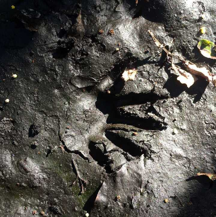 Raccoon tracks in the mud at Tree Tops Park