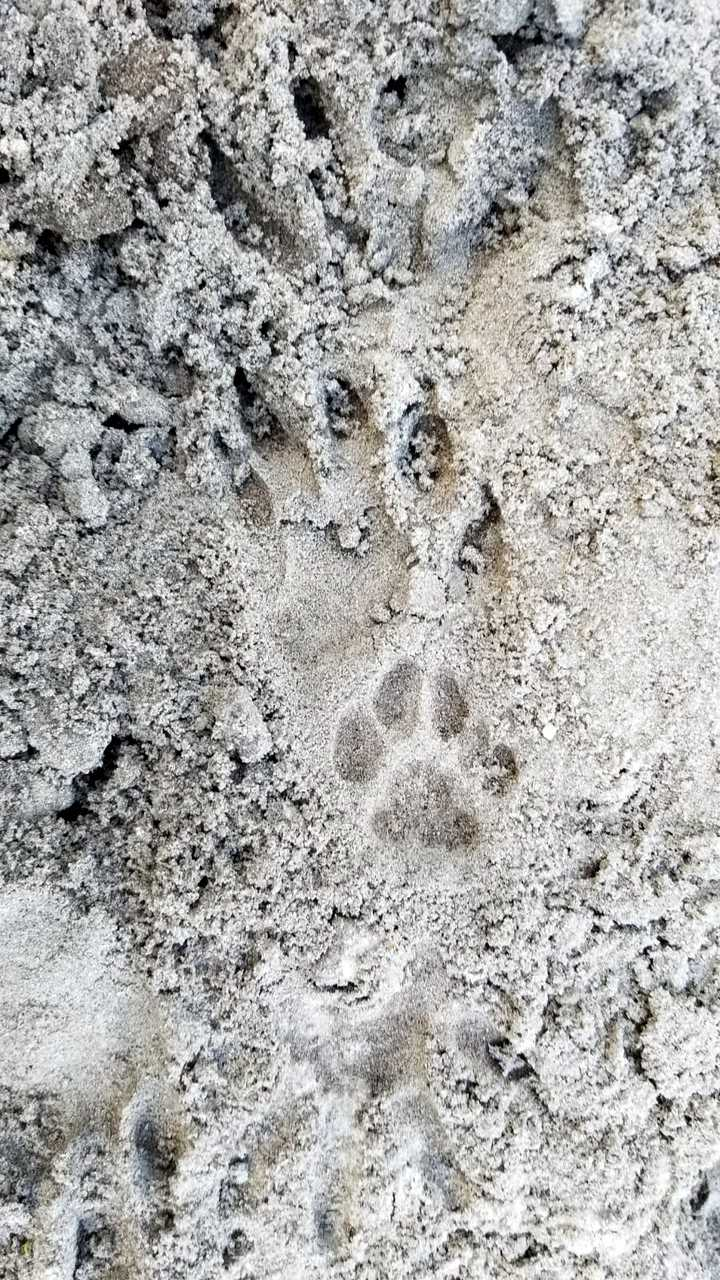 Raccoon and cat tracks overlaping at Tree Tops Park. These tracks show the raccoon's claws.