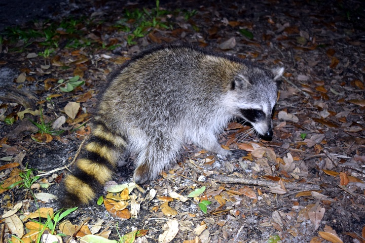 Raccoon after release